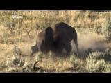 Nat Geo Wild HD (Йеллоустон – Поле битвы)